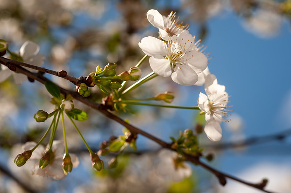Spring2020_Cherry_Apple_Blooms
