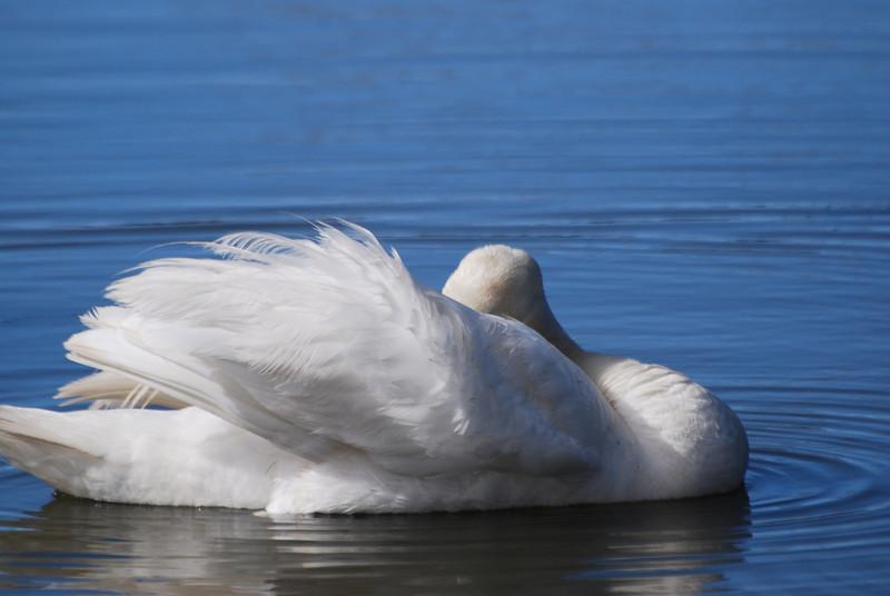 Swan (3).JPG