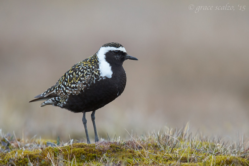 American Golden Plover on Tundra