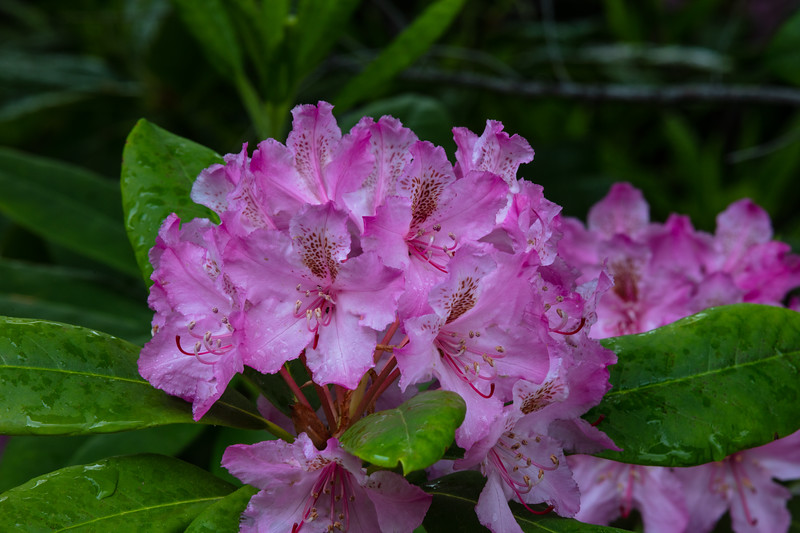 Mountain Rhododendron