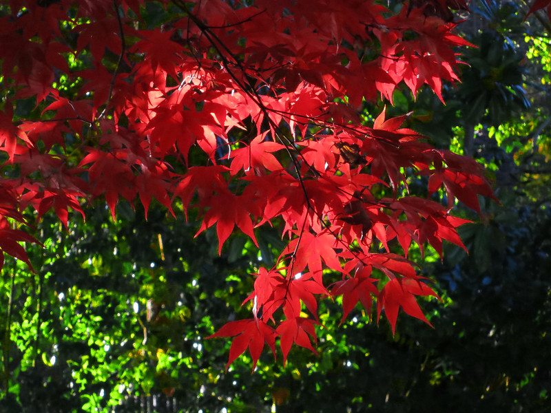 red leaves 0115.jpg