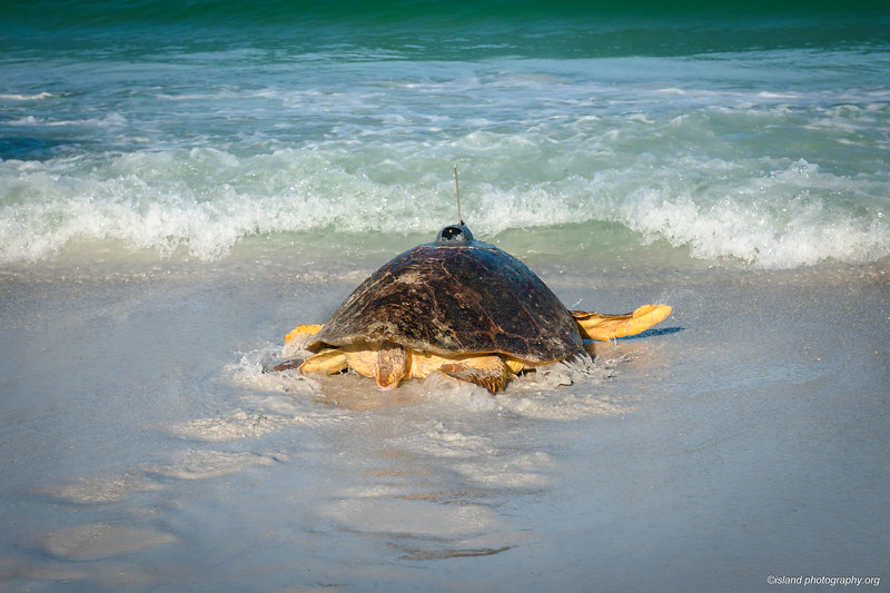 track Bortie! https://www.islandphotography.org/Other/Bortie-the-Sea-Turtle/