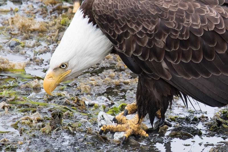 Ketchikan Eagles Spring 2019-6.jpg