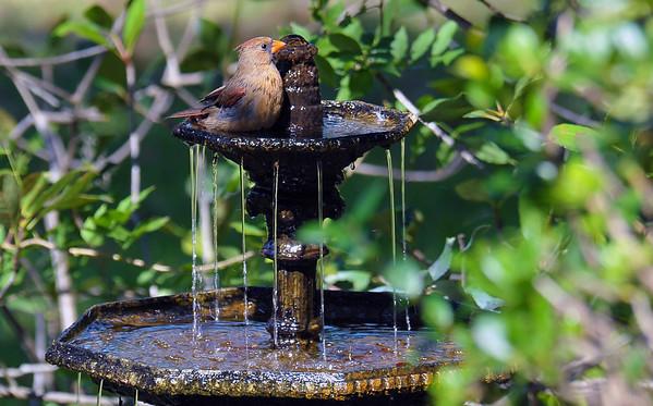 Cardinal Bathing at 309 RR 10-28-18
