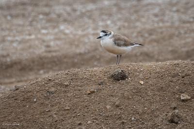 Plover, White-fronted (spp. marginatus)