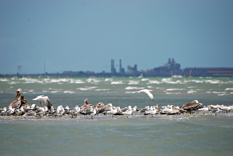 Gulls, Terns and Pelicans, TX