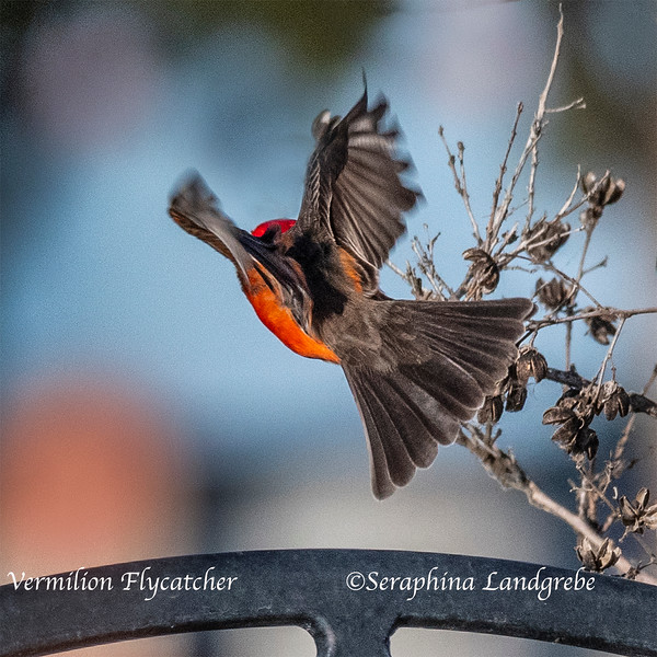 _DSC1797Vermilion Flycatcher flight.jpg