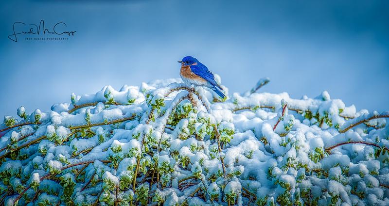 Blue Bird 3.jpg