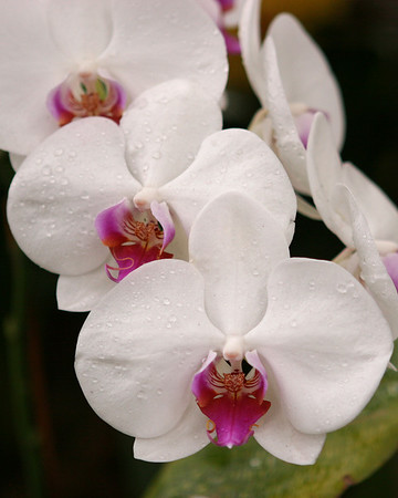 Orchids at NYBG New York Botanical Garden 2007