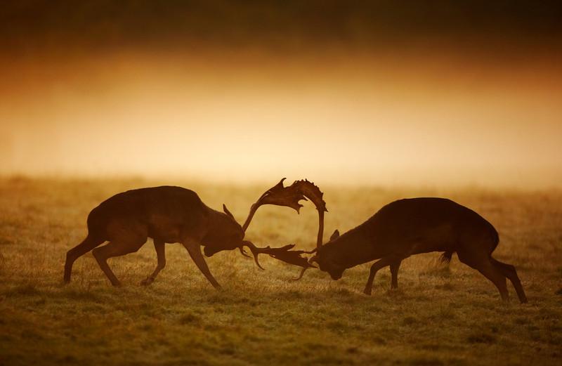 108 - Fallow Deer.jpg