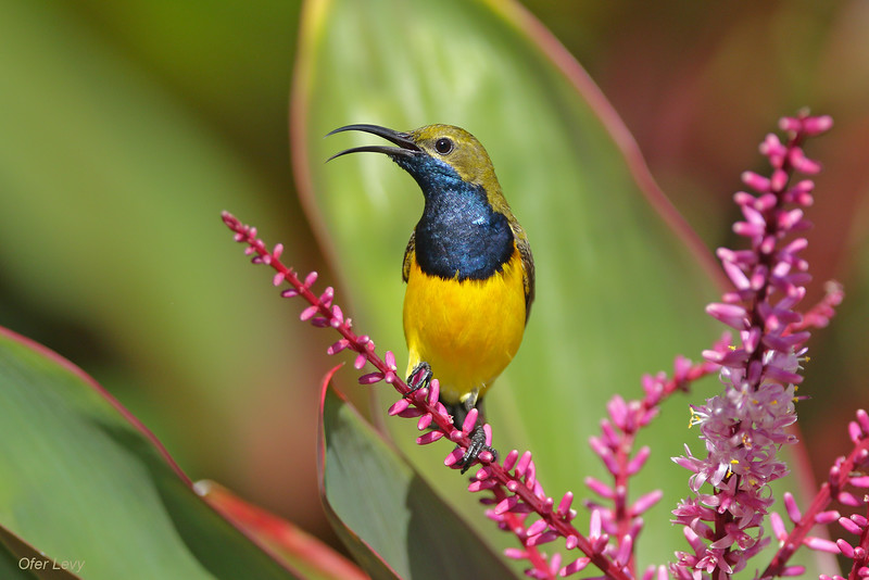 Olive-backed Sunbird male.jpg