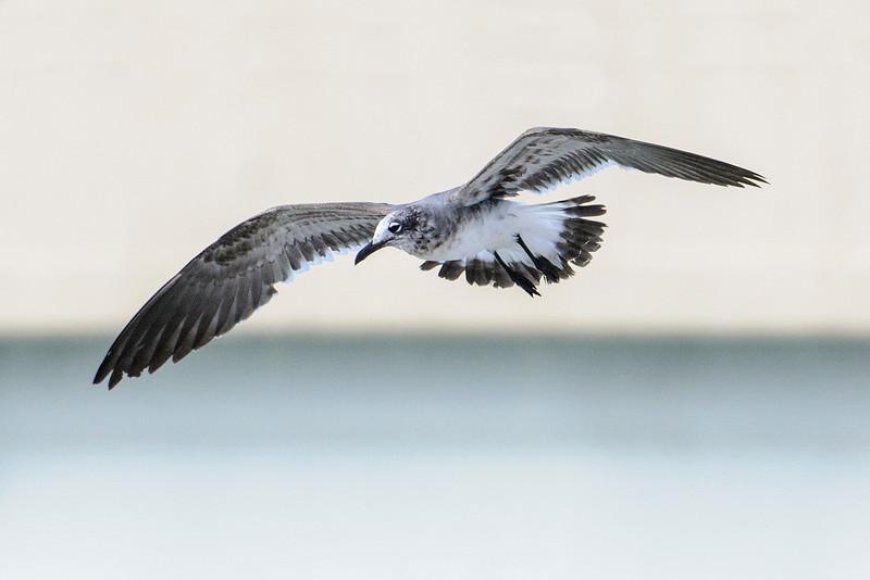 Gull - Laughing - Blind Pass - Sanibel Island, FL
