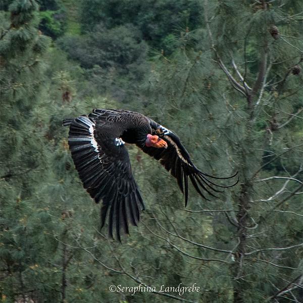 _DSC7882Magnificent Condor Wings 8X8.jpg