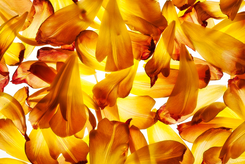 tulip-09.jpg