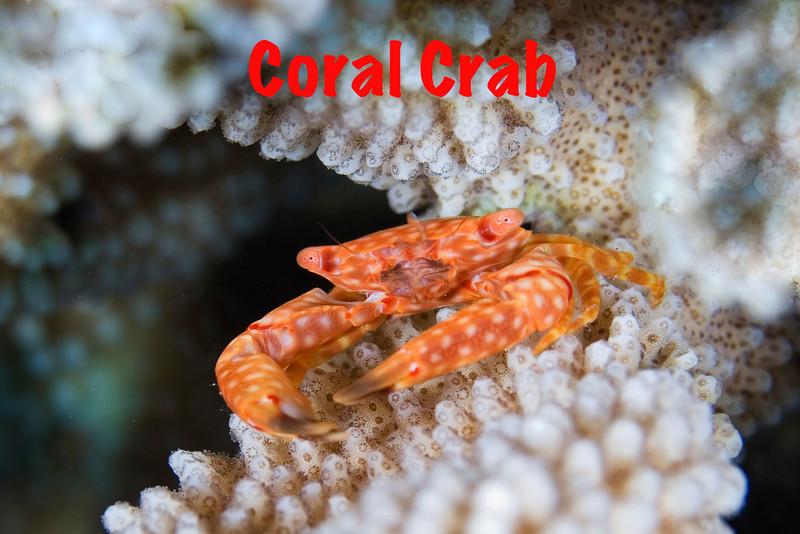 Coral Crab.jpg