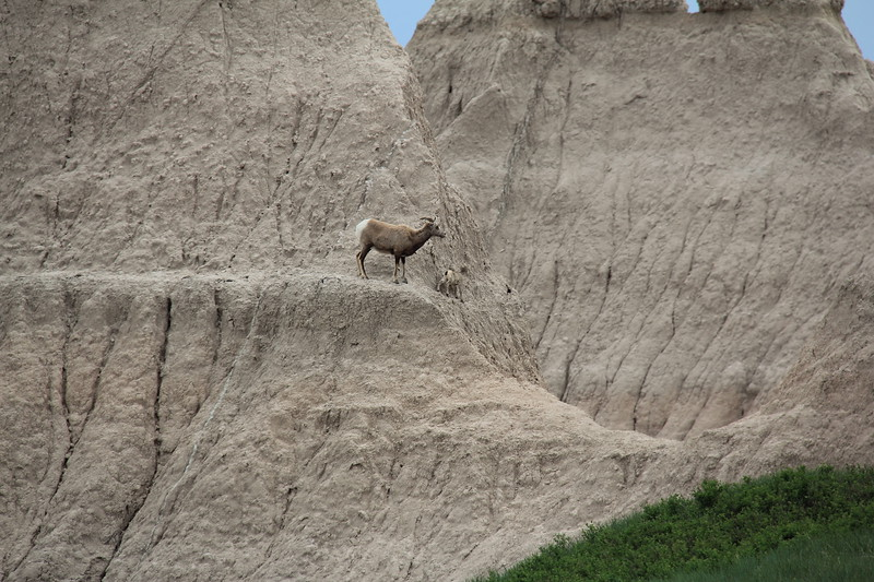 20140523-154-BadlandsNP-MountainGoats.JPG