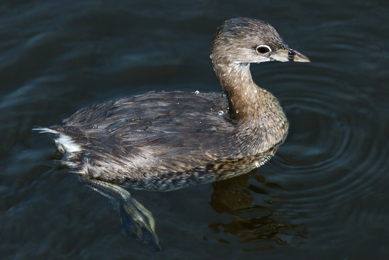 Pie Billed Grebe-7533.jpg
