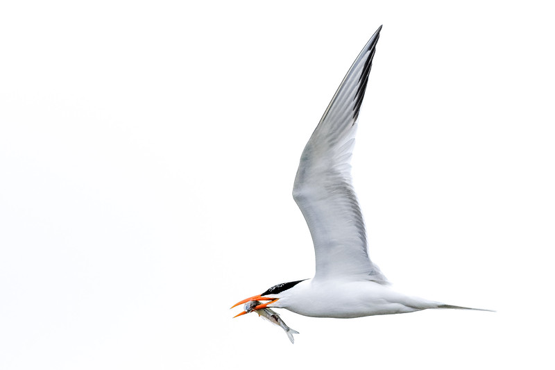 Tern with Fish.jpg