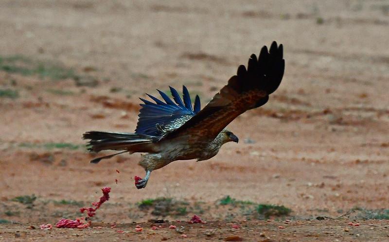 Hawk breakfast