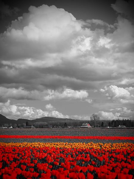 Tulips 09.jpg