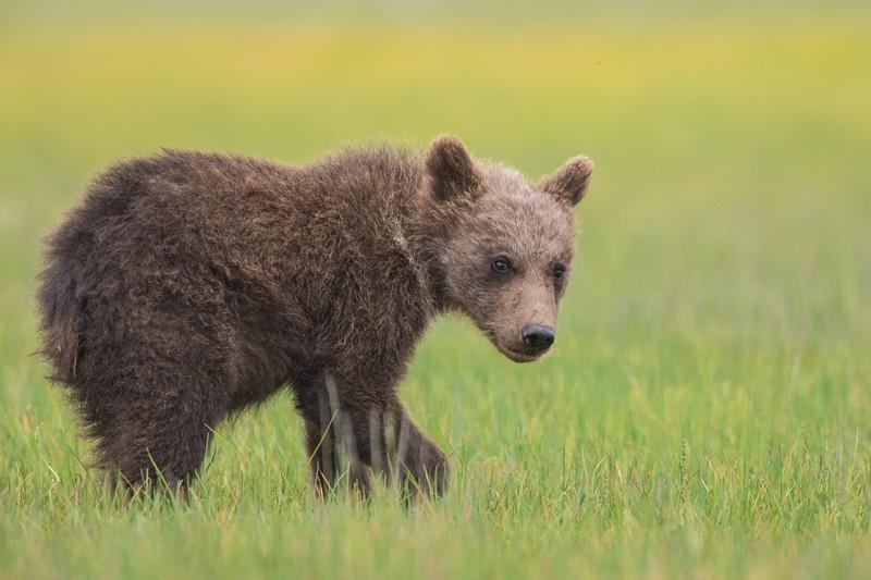 alaska-bears-16-2.jpg
