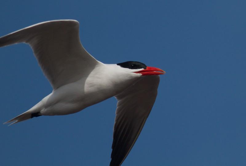 Caspian Tern Wisconsin Point Superior WI IMG_1513.jpg