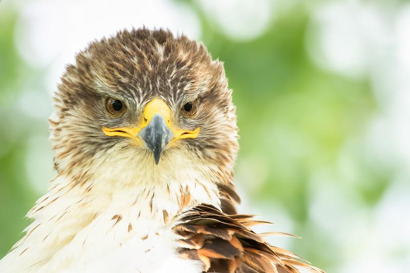 Ferruginous hawk, Buteo regalis, close-up near Medicine Hat, Alberta, Canada.