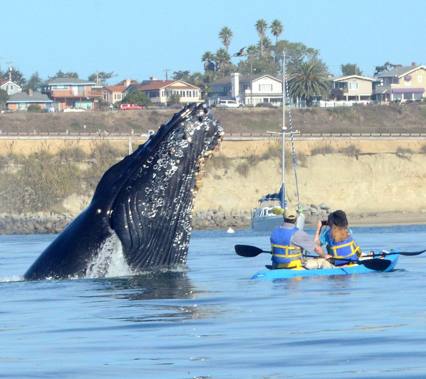 . Humpback whales spent several weeks putting on a show off Capitola recently. Here, a couple gets a close-up view of one. (Photo courtesy of Giancarlo Thomae)