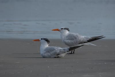 Sea Birds and Shore Birds