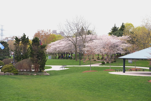 Cherry Blossoms at Spencer Smith Park