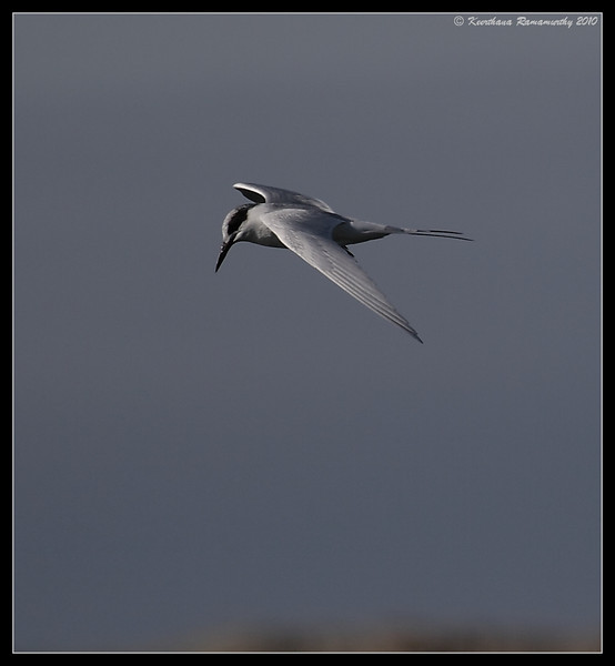 Forsters Tern, Fiesta Island, San Diego County, California, January 2010