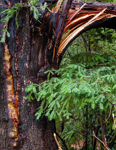 Splintered Tree, Villa Montalvo, Saratoga, California, 2010