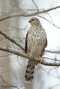 Sharp-shinned Hawks