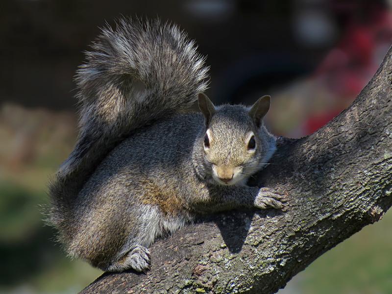 sx50_squirrel_fauna_024.jpg
