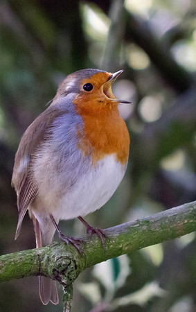 Robin - Bournemouth Gardens  March 7, 2012
