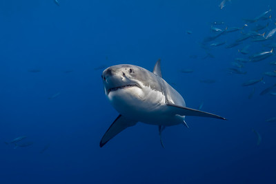 Guadalupe Great White Sharks
