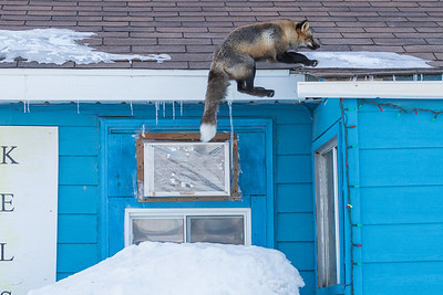 Fox jumping to roof 2017 March 12th