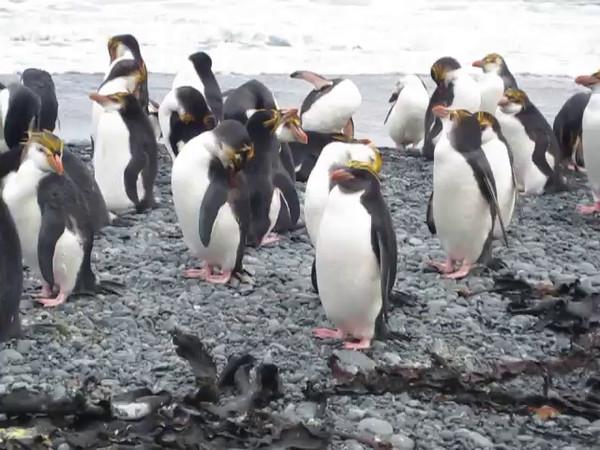 Video: Macaroni Penguin (Eudyptes chrysolophus) candidate