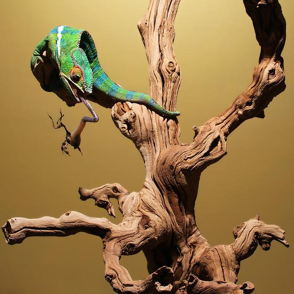 Chameleon Eats Mantiss.jpg