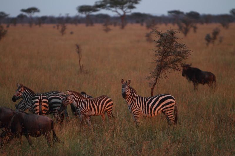 Morning Zebra.JPG