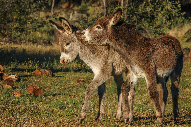 Two Wild Burros Playing #2