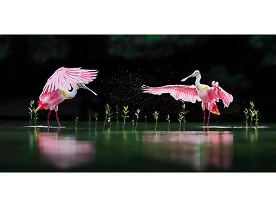 Pink Symphony | RS-C76