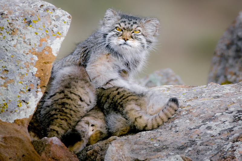 Pallas's cat with young kittens (Otocolobus manul) Mongolia. June.