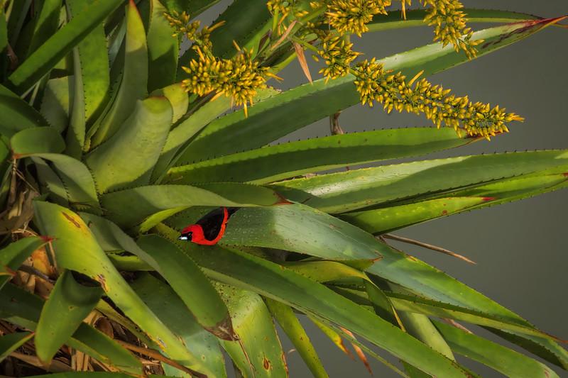 Masked scarlet tanager