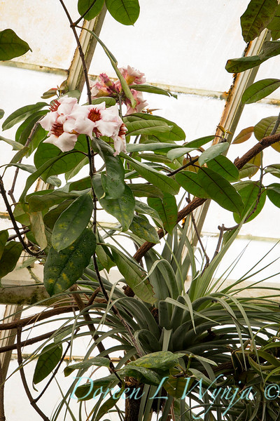 Strophanthus gratus_0601.jpg