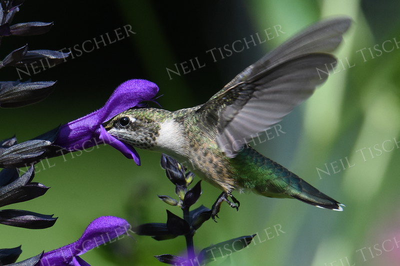 #1507  Ruby-throated Hummingbird, juvenile male feeding on blue-black salvia