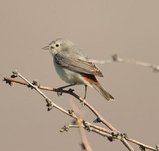 Lucy`s Warbler