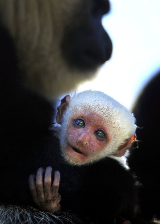 """. A baby Colobus monkey born early Thursday morning, March 8, 2010 is held by her mother, Jabula, at Safari West in Santa Rosa, Calif. \""""Colobus\"""" means \""""mutilated\"""" in Greek, because they have no prominent thumb. They live high in the tree tops, so the thumb gets in the way of their long fingers as they launch themselves from branch to branch. (AP Photo/The Press Democrat, John Burgess)"""