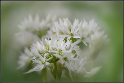 Gewone vogelmelk/Garden Star-of-Bethlehem