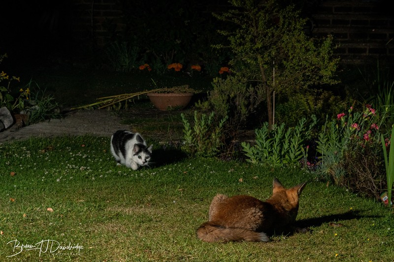 """Jessica """"The Fearless"""" stalks the fox"""